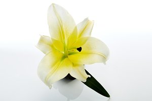 White lily flowers isolated on white