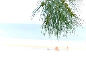 Pine tree in focus, blurred beach