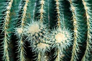 The close up cactus
