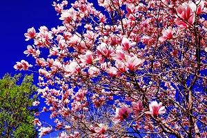 Magnolia tree on blue sky background