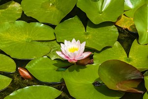 White water-lily.