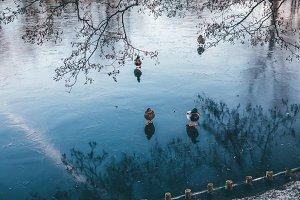 Ducks and frozen pond