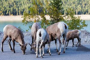 Goats in Banff, Alberta