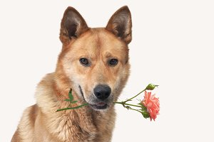 A big dog with a rose in his teeth