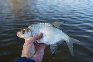 Bream in fisherman's hand