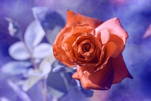 Red rose on a blue blurred backgroun