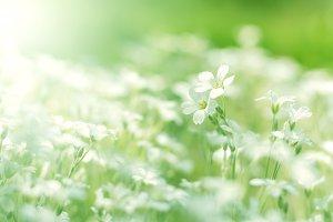Little white flowers .
