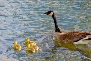 Goose with Chicks