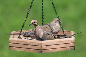 Pigeons in Feeder