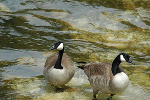 Canadian Geese Resting