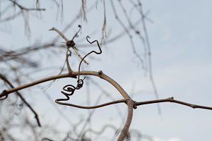 Curled Branch