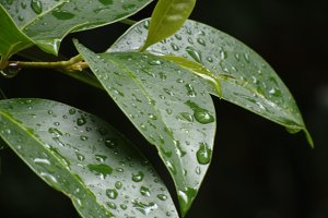 Water on leaves