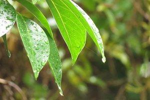 Rain drops on leaves 2