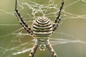 The spider species Argiope aurantia