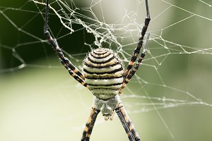 The spider species Argiope aurantia