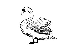 Swan bird engraving vector illustration