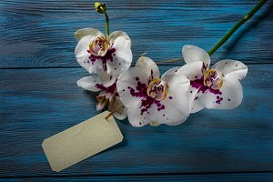 White Orchid on blue wooden backgrou