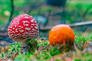 Amanita Muscaria poisonous mushroom