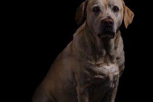 Labrador dog studio photography