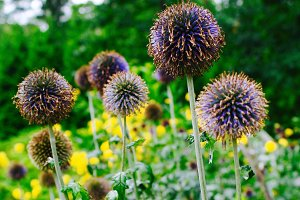 Purple Thistle Flower, Echinops