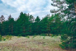 Pine forest green landscape