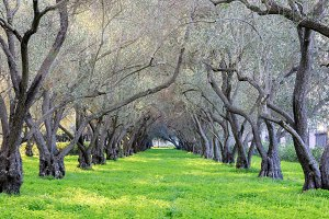 Olive Grove Tranquility