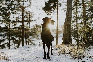 Great Dane in Winter Sun