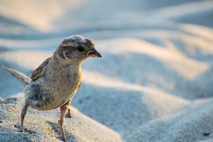 Portrait of curious sparrow on the sand