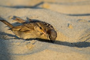 Portrait of couple of sparrow on the sand