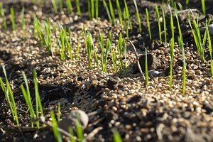 young sprouts of wheat