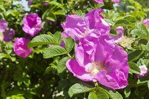 blooming wild rose