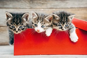 Kittens in red box