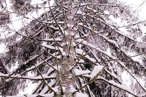 Tall tree. Spruce sprinkled with sno
