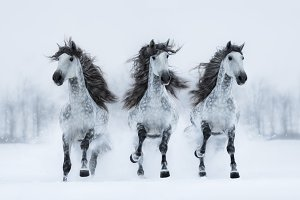 Herd of gray long-maned horse