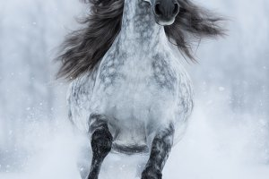 Galloping grey long-maned horse