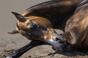 Akhalteke stallion rolls in sand