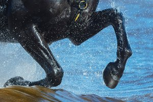 Black horse run gallop on water
