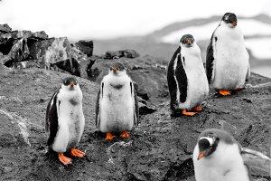 Group of penguin chicks