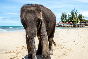 small elephant walks on the beach