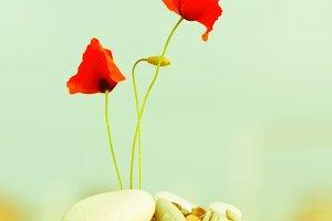 blooming red poppy flower on pebble