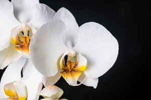 white orchid, phalaenopsis on black