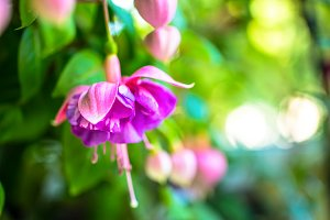 red and lilac fuchsia flower