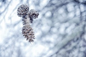 pine cones covered with rim frost