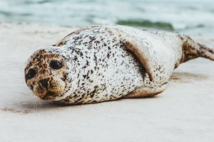 Seal funny animal relaxing on beach