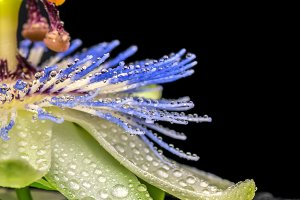 spa concept of passiflora flower