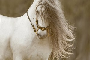 Andalusian horse with long mane