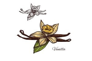 Vanilla flower spice herb vector sketch plant icon
