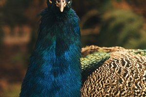 Beautiful colourful peacock outdoors