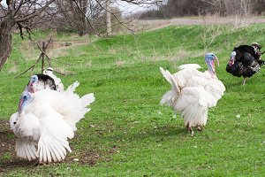 turkey male or gobbler grazing on a green grass background