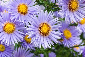 flowers asters in the garden